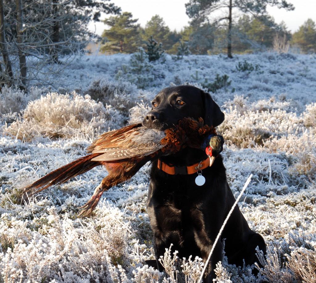 Jægernes hunde koster over 700 millioner kr. om året at holde i gang.